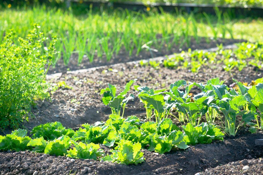 Wir helfen Ihnen bei der Wahl der Gemüsepflanzen